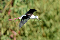 black-winged stilt (19)