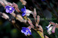 Alkanet, Large Blue