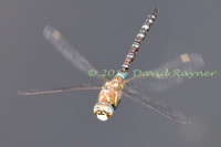 Dragonfly, Migrant Hawker 3