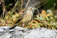 Pipit, American 2