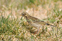 Pipit, Meadow 1