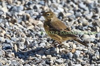 Pipit, American 1