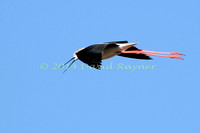 black-winged stilt (18)