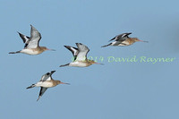 Black-tailed Godwits 4