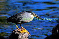striated heron (12)