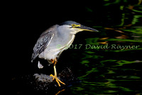 striated heron (11)