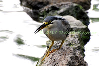 striated heron (13)
