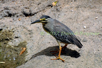 striated heron (16)