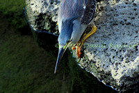 striated heron (17)