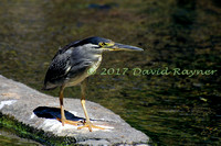 striated heron (18)