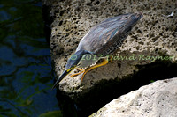 striated heron (20)