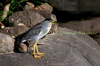 striated heron (21)