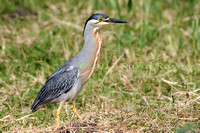 striated heron (25)