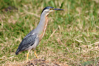 striated heron (26)