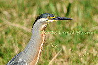 striated heron (27)