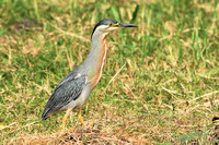 striated heron (28)