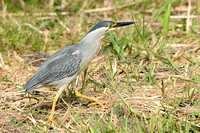 striated heron (29)