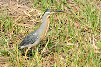 striated heron (30)