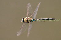 Dragonfly, Migrant Hawker 1