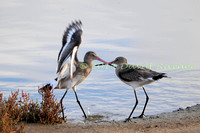 Black-tailed Godwits.a4