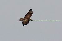 Buzzard, Common 01