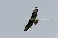 Buzzard, Common 02
