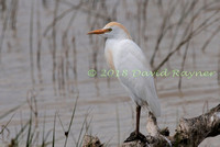 Egret, Cattle 03