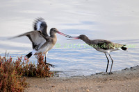 Black-tailed Godwits.a6