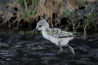 black-winged stilt (22)