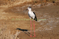 black-winged stilt (16)