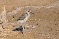 black-winged stilt (23)