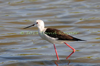 black-winged stilt (30)