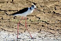 black-winged stilt (17)