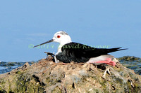 black-winged stilt (15)