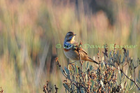 Bluethroat 2