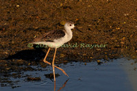 black-winged stilt (28)